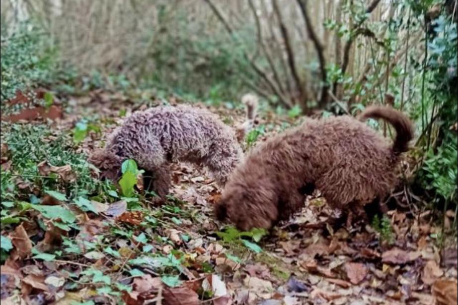 «Im Duo sind die beiden  Lagotto Romagnolo Hunde unschlagbar«, sagt der Trüffelpilzjäger Kenan.